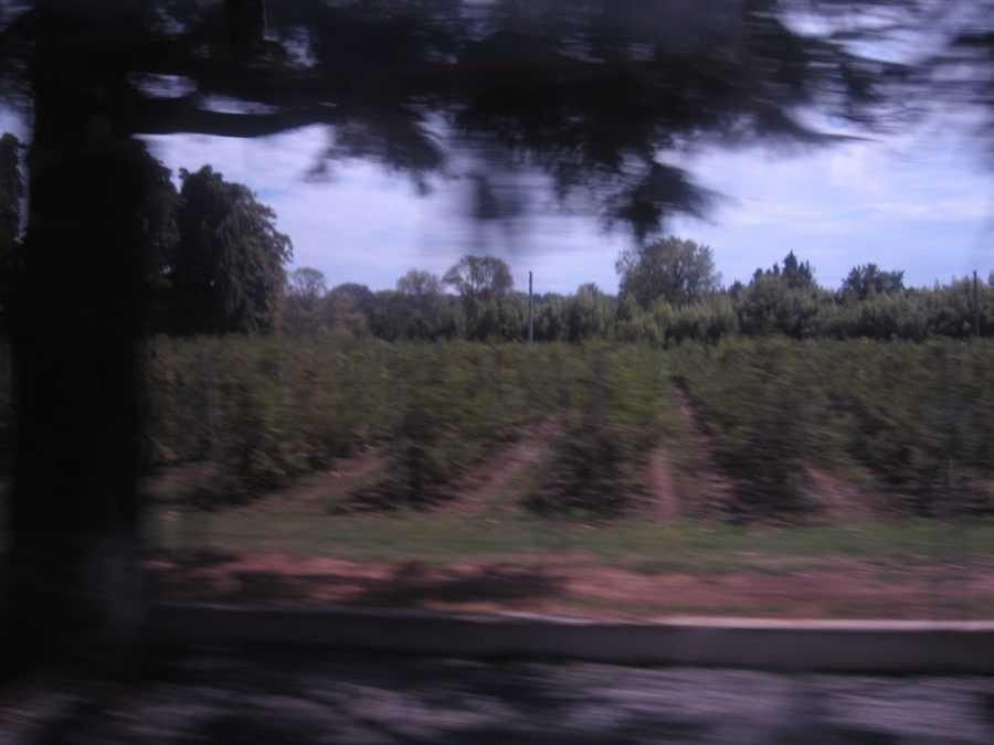 виноградник в Абхазии
