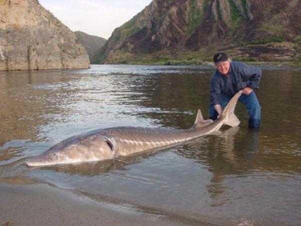 рыбы реки амур