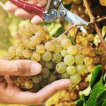 Праздник сбора винограда Ртвели в Грузии уже на носу