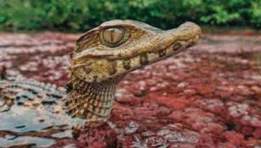 Горные крокодилы Колумбии в самой красивой реке мира