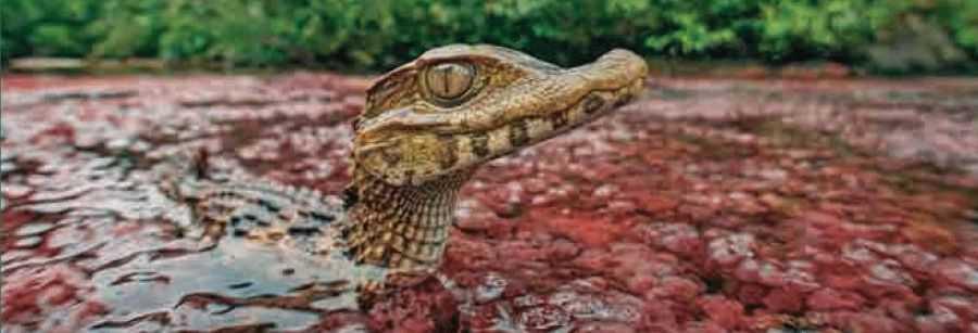 крокодилы Колумбии