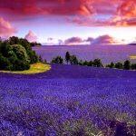 Лавандовые поля Прованса. Удивительный уголок мира