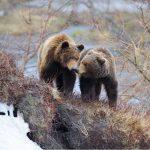 В Долине гейзеров ждут новые «медвежьи свадьбы»