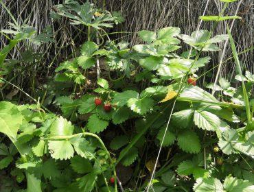 Лесная клубника в омских лесах. Ягоды много, в лесу были сегодня — 03.07.2021 г